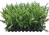 Thuja Green Giant Arborvitae - 60 Live Trees 2' Pot Size - Evergreen Privacy Plants