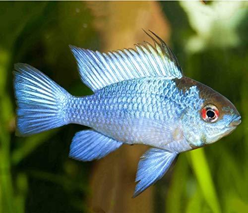 【熱帯魚・南米ドワーフシクリッド】 コバルトブルーラミレジィ ■サイズ:3.5cm± ※ペア不可 (3匹)