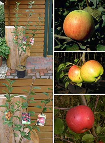 Trio Apfelbaum Elstar   Cox Orange   James Grieve   Apfel Obstbaum 2-jährig im 7,5 L Topf   3 Sorten pro Baum