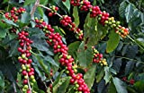 Kona Coffee Hawaiian Starter Plant Grow Your Own B4
