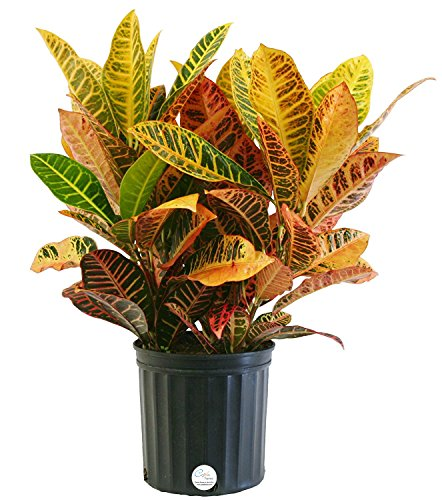 Costa Farms Croton Petra Live Indoor Floor Plant in 8.75-Inch Grower Pot