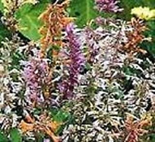 Agastache Fragrant Delight Mix Flower Seeds/Perennial 50+ Seeds
