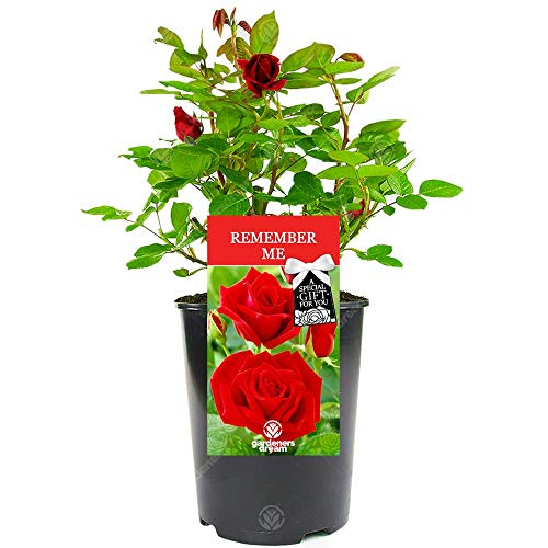 Remember Me Rose - Say Goodbye to Someone Special with a Unique Living Plant Gift