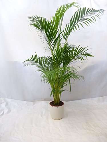 GOLDFRUCHTPALME - Chrysalidocarpus lutescens -