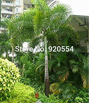 PLAT FIRM Hot elling 2pc / lot Fox Palm, Wodyetia bifurcata Samen Bonai DIY Hausgarten