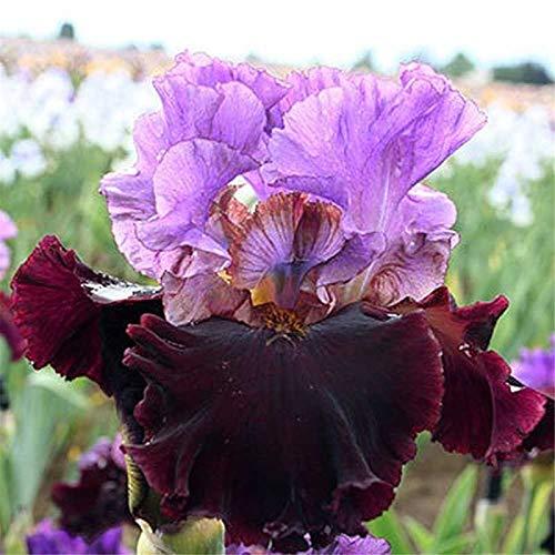 Bulbos De Iris,Hermosas Plantas MáGicas BalcóN Especial En Maceta Perenne Con Encanto Bonito-4 Bulbos
