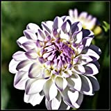 Dahlia Bulbs Perennial,Pleasant Brightly Colored,Gift Bouquets Ornamental Value Gorgeous,Green Leaf Magical Potted,White,2 Bulbs
