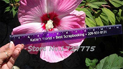 100 géant Fleur d'hibiscus Graines Hardy, mélange Couleur, DIY Home Garden en pot ou cour Fleur Plante,, Red, As Show in Description