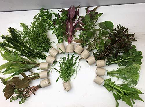 Verschiedene Extra dick 100 Stängel 10 Bund Aquarienpflanzen Wasserpflanzen
