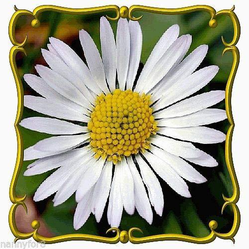 SANHOC 100 Samen Bellis perennis (Englisch Daisy) Wildstauden 4