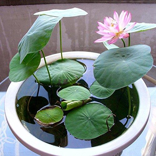 KAYI Lotus Graines Nénuphar Couleurs Mélangées Lotus Plant Graines Accueil Jardin Plantation DIY Jardinage Rose 10 pcs