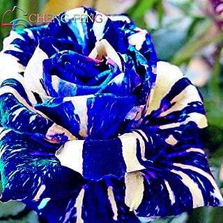 Black : Hot Sale! 50Pcs Rare True Blood Black Dragon Rose Seeds Beautiful Stripe Rose Bush Plant Bonsai Flower Seeds DIY Home Garden