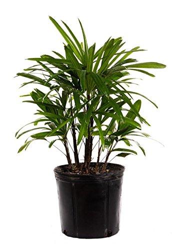 "AMERICAN PLANT EXCHANGE Lady Palm"" Rhapis Excelsa""- Cold Hardy Live Plant, 3 Gallon"