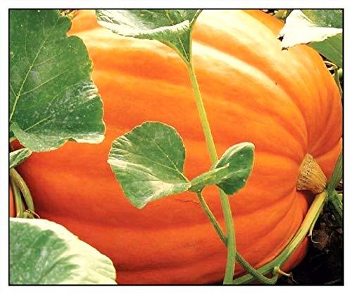20 Big Max Pumpkin Seeds   Non-GMO   Fresh Garden Seeds