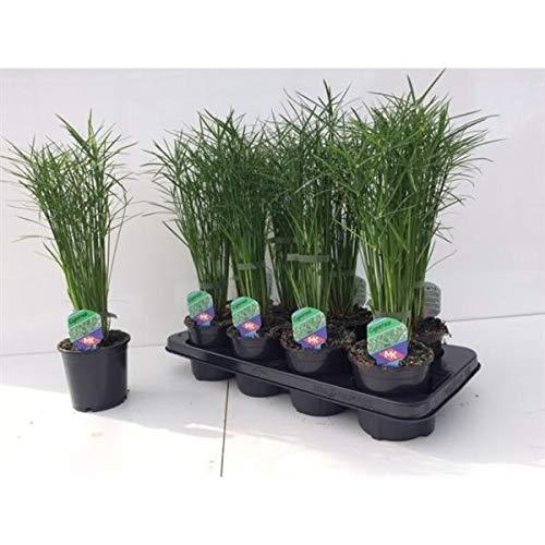 Cyperus Jela 50 cm Zyperngras Wasserpalme Zimmerpflanze