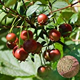 sunyuey semi, 15pcs myrtus eugenia guava cileno fragola semi di mirto frutto pianta da giardino, non ogm semi di guava