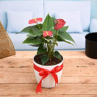 red anthurium live plant include pot 5 inches best gifting plant