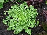 Green Curled Ruffec Endive 300 Heirloom Garden Seeds, (Isla's Garden Seeds), Non GMO, Survival Seeds, 90% Germination, Highest Quality Seeds