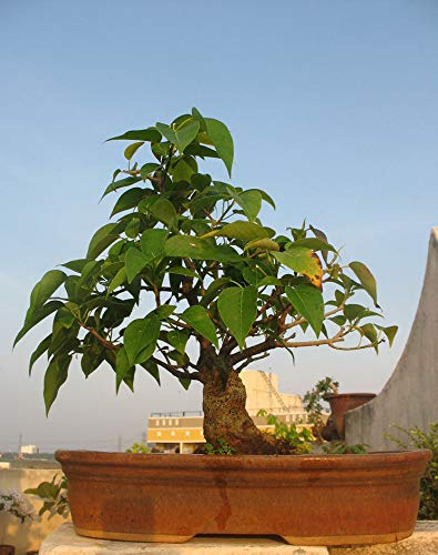 Portal Cool 20 Bodhi Tree (Ficus religiosa) Semillas Bonsai árbol, Semillas raras frescas Bonsai Tree