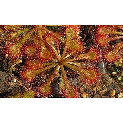 Semillas plantas carnívoras Drosera spathulata