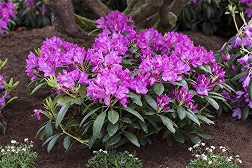 Rhododendron Roseum Elegans Alpenrose rosa 30-40cm im Topf gewachsen