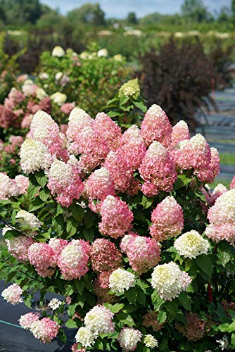 Proven Winners HDYPRC1206101 Quick Fire 'Fab' Hydrangea Live Plant, 1 Gal, White...