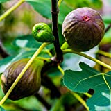 Pixies Gardens Brown Turkey Fig Tree Live Fruit Plant for Planting - Providing Two Crops of Fruits Per Year (1 Gallon Potted)