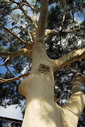 Citron Eucalyptus (Corymbia citriodora) Graines de gommier