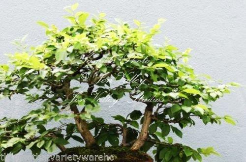 Carpinus japonica Japanische Hainbuche Samen Bonsai Orange Fall Farbe Antike Blick