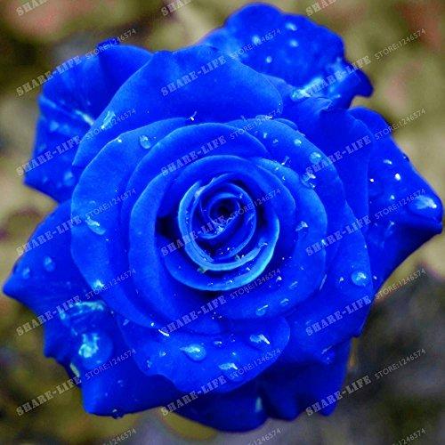 100 particules rares Bleu Rosa chinensis Belle Graines de fleurs Graines de fleurs Rose Arbuste parfum du thé Balcon Bonsai Jardin des Plantes 1