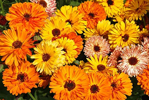Ringelblume/Bienenfreundlich/ca.50 Samen/Heilpflanze -entzündungshemmend