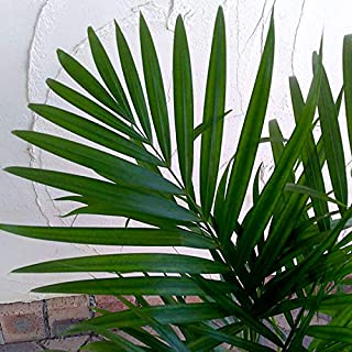アレカヤシ6号鉢植え [トロピカルな羽状葉が良く茂る観葉植物]
