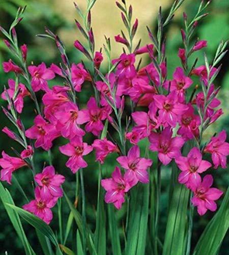 Winterharte Wild Gladiolen byzantinus (25 Blumenzwiebeln)