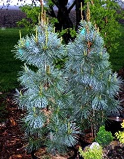 Extra Blue Limber Pine 2 - Year Graft