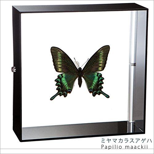 蝶の標本 ミヤマカラスアゲハ Papilio maackii アゲハチョウ アクリルフレーム 黒