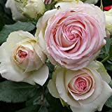 Own-Root One Gallon Eden Climbing Rose by Heirloom Roses