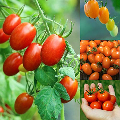 Cherry Tomato Seeds,200Pcs Organic Cherry Tomato Seeds Delicious Fruit Vegetable Home Garden Decor - 200pcs Tomato Seeds