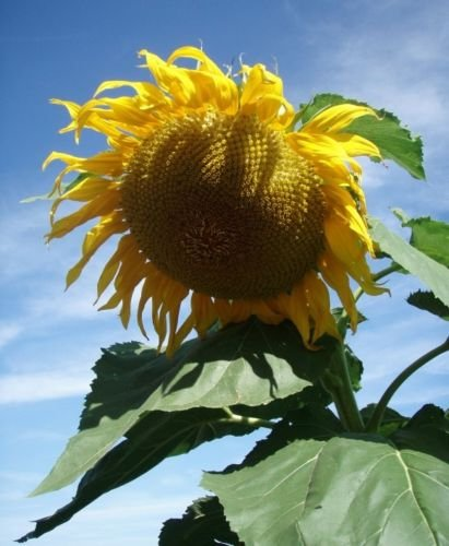 50 GIANT TITAN Sunflower seeds. HUGE
