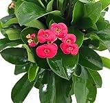 Color rojo corona de espinas–buena suerte–planta Euphorbia milii–4'Pot