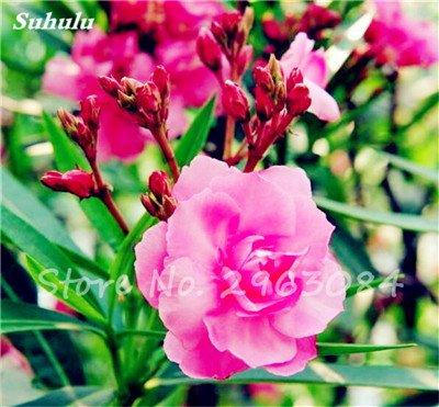 100 Pcs Nerium Oleander Flower Look Seed Tout comme les plantes Rose Fleur Bonsai jardin Arbre Four Seasons fleurs vivaces Easy Grow 5