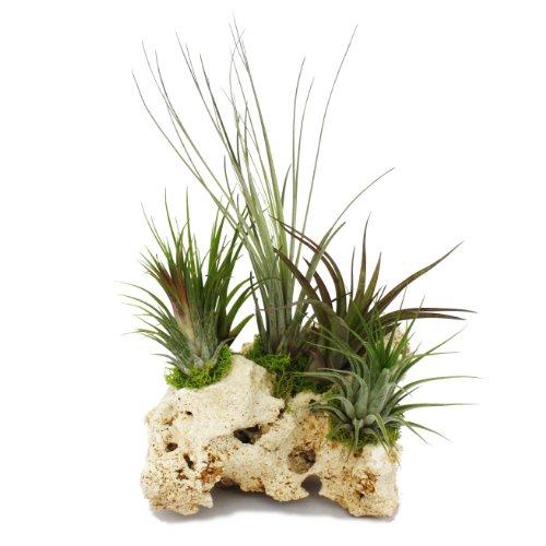 Exotenherz - Tillandsien auf Sansibar-Rock - XXL - 5 Pflanzen