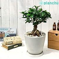 観葉植物 ガジュマル 6号樹脂鉢 ホワイト 受け皿付き 育て方説明書付き 精霊の宿る木 フィカス ゴムノキ ゴムの木