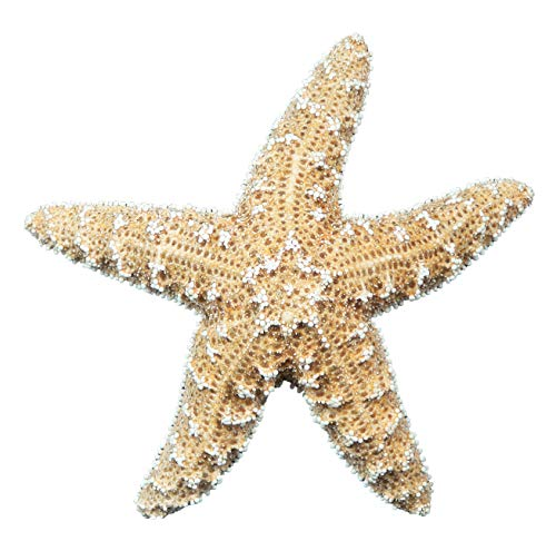 The Shell Connection   Sugar Starfish   2-3'   10 Pieces