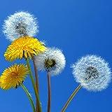 Semillas de plantas semillas de flores 1 bolsa diente de León semilla rápida madurez fácil de cultivar mini semilla de jardinería rústica para balcón - Semillas de diente de León