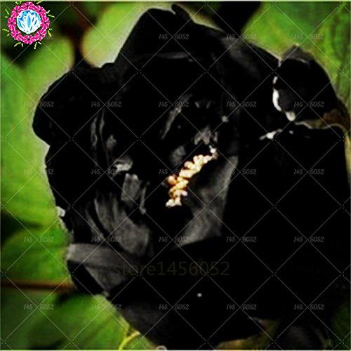 10 pcs/sac graines de pivoines fleurs doubles Heirloom Sorbet robuste pivoines graines de fleurs bonsaï noir graines de pivoine arbustive pot de plantes de jardin 1