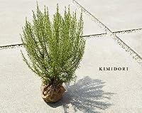自信の自家生産 ローズマリー 大株 30-50cm ボリュームあり! お庭の 低木に ハーブ 苗 植木 庭木 苗木
