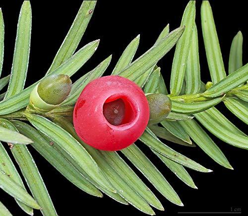 VISA STORE Taxus baccata - Tejo Inglés - 20 Semillas Frescas