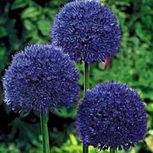 AIMADO Samen-30 Stück Allium giganteum Zierlauch winterhart, mehrjährigen Blütenkugel Samen geeignet für Garten Terrasse