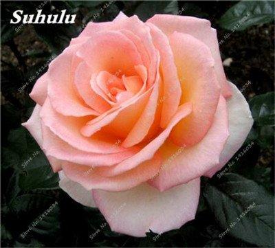 100 pièces/sac Couleur Rare Rose Graines Outdoor Bonsai Graines de fleurs vivaces Fleurs Graines Plante en pot pour jardin Décor 21