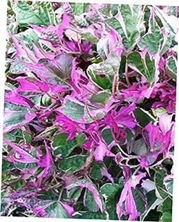 CLORA 1 Plant 3